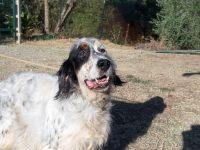English Setter benötigt Ohren-OP | Hundehilfe Mariechen